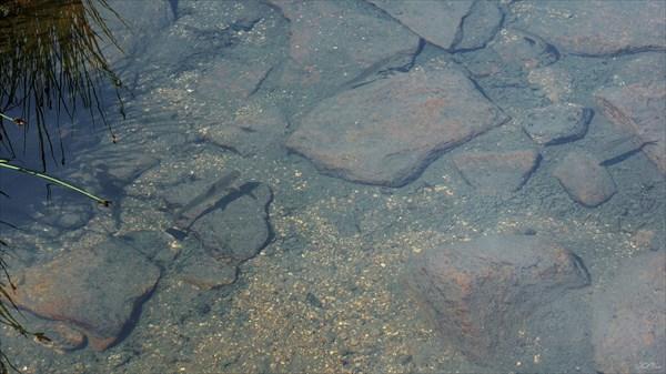 Мелкий хариус в озере Радужное