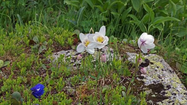 Водосборы, но редкой расцветки