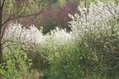 Цветет терен....