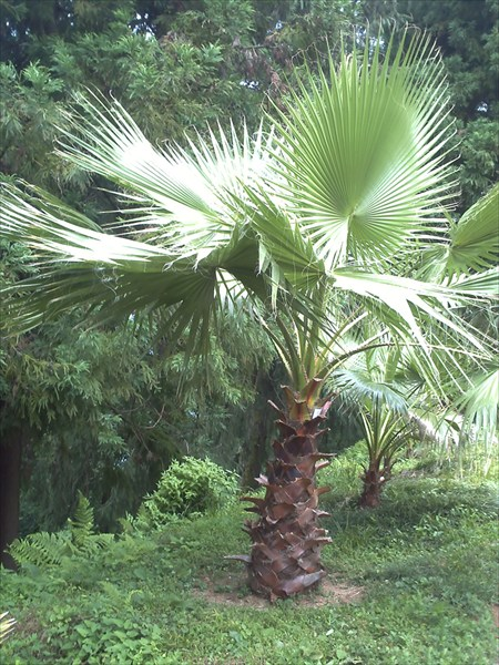 Молодая пальма