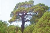 Дуб - дерево хвойное ;-)