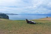 Коровьи мечты