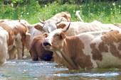 коровы дезинфицируют реку! *-)