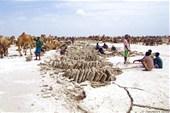 Добыча соли на озере Карум (Ассале)
