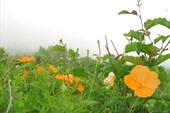 Оранжевые маки Осетии