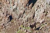 Путоранский снежный баран, самка с ягнёнком. Плато Путорана.
