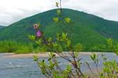 Последние цветы рододендрона даурского