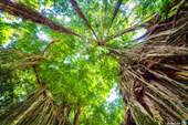 Лианы джунглей Катемако