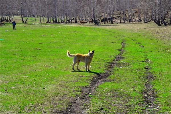 Собак -мураяка