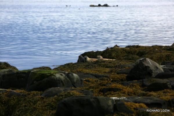 Лежбище морских котиков