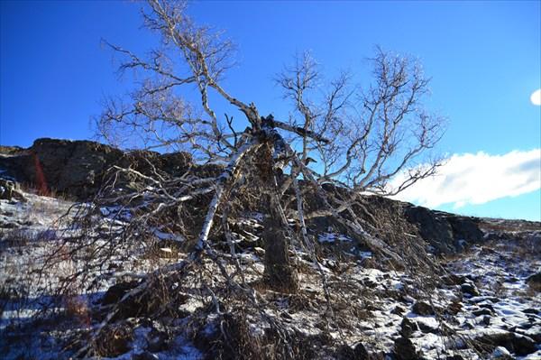 Злое дерево ямантау