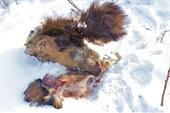 В верховьях Лютенги браконьеры убили лося...