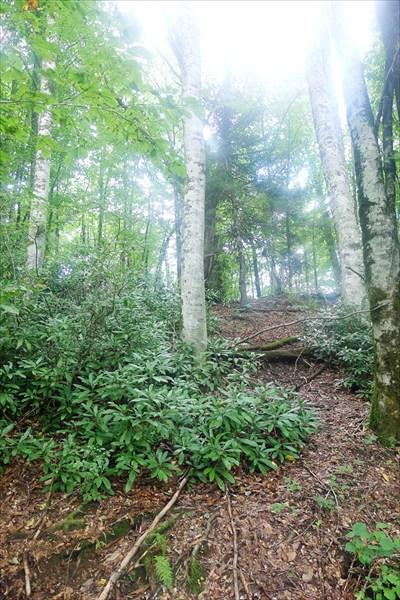 Рододендроны в буковом лесу