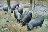Просто свинки