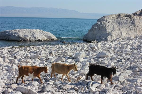 Козы, пасутся вдоль берега