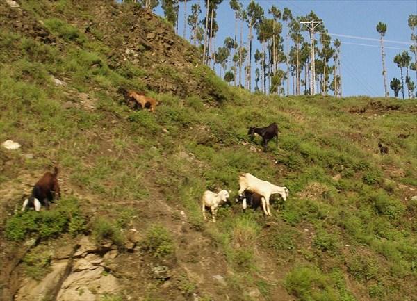 Козы альпинистки