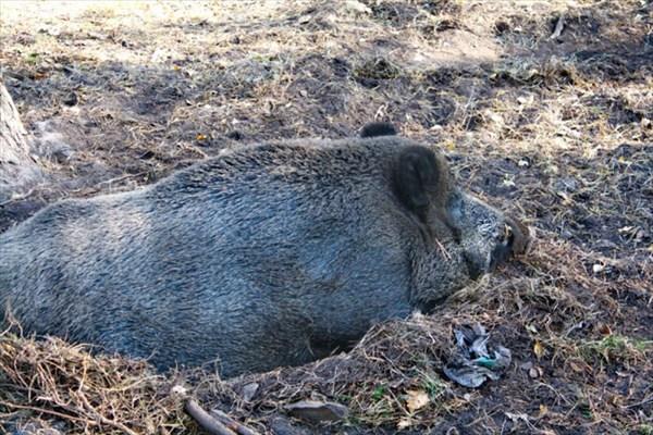 Свин или Хрюша