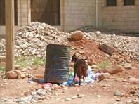 Хадибо козы