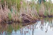 Жильё ондатры