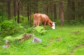 Местная корова