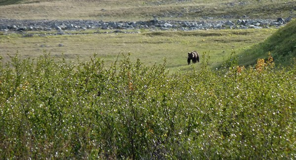 Встреча с медведем в долине р. Бол. Пайпудына