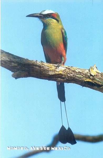 075-Turquoise-browed motmot
