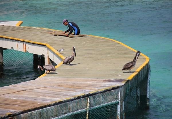 065-Пеликаны