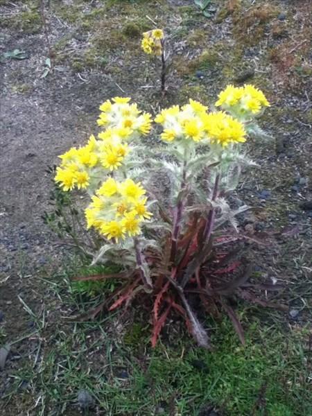 Цветы на оз. Арылах
