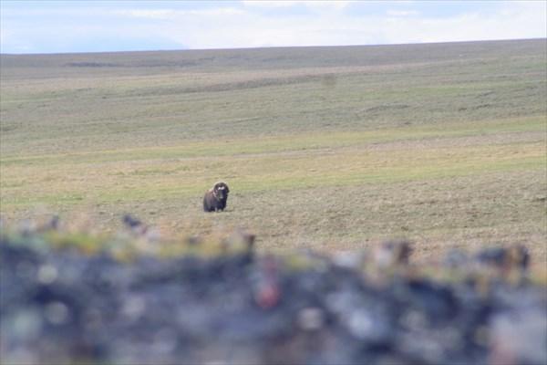 Овцебык идёт в гости