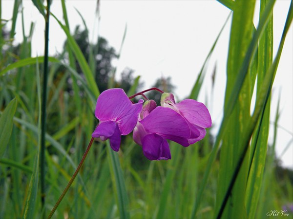 Цветы Якутии. Чина приземистая