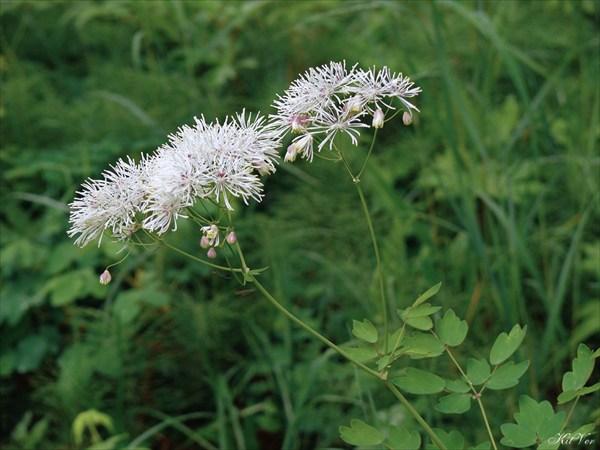 Цветы Якутии. Василисник скрученный