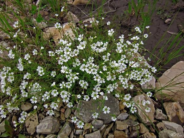 Цветы Якутии. Звездчатка Бунге