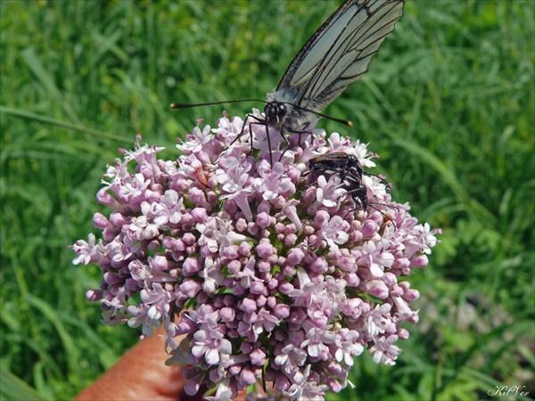 Цветы Якутии. Валериана очерёднолистная