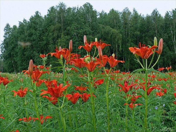 Даурские лилии