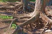 Подкопанные корни лиственниц