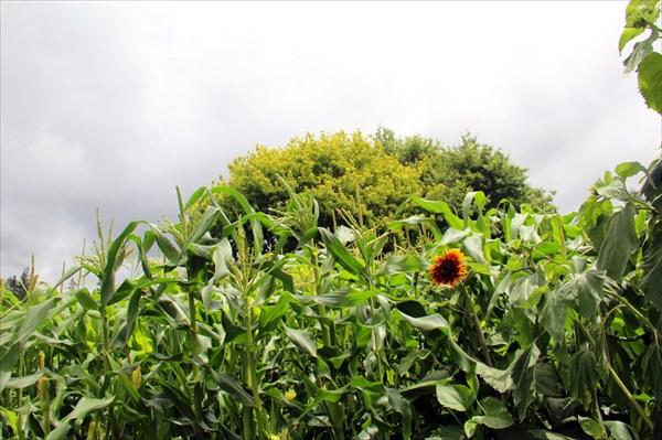 В этом гигантском парковом комплексе есть и кукурузное поле