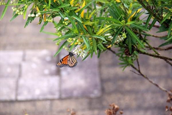 Бабочки - неотъемлемый элемент Садов Гамильтона