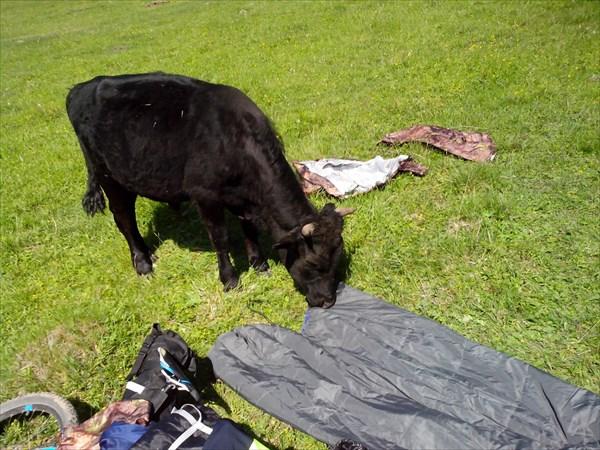 Буйный бык