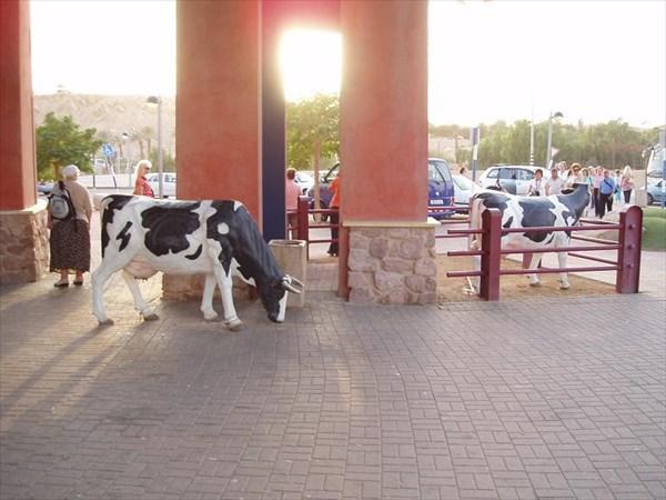 071-Коровы