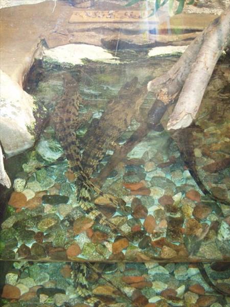 136-Крокодильчики