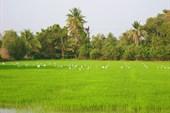 Рисовые шрядки с журавлями
