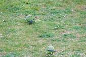Попугаи в Мадриде