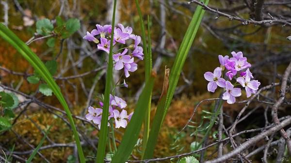 Цветы у озера Бурсагай-Нур