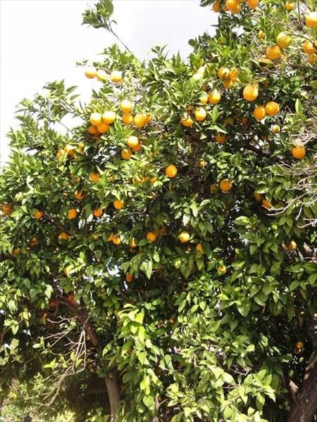 Апельсинки, ешь сколько хочешь!