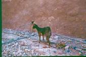 Сторожевая коза