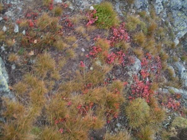 Мхи и травы горной тундры