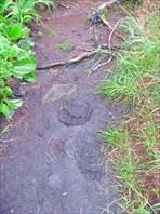 следы диких зверей на тропе к моей палатке