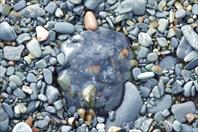 Утриш_медуза