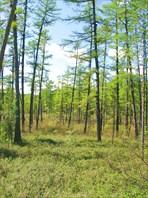 Лес около Тынды