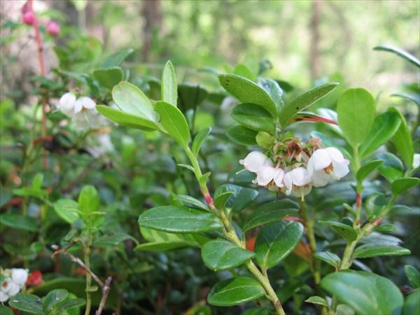 Брусника ( Vaccinium vitis-idaea)